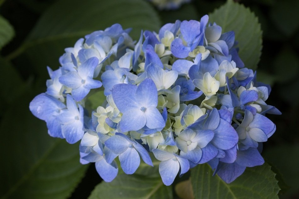 blue and white hydrangea in the garden