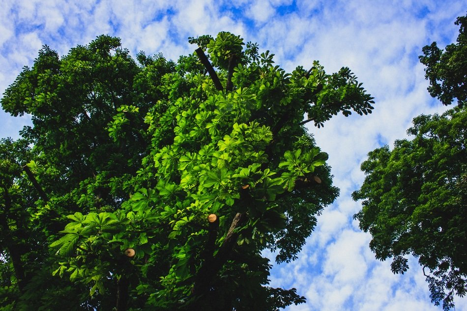 trees with large green crowns against the sky
