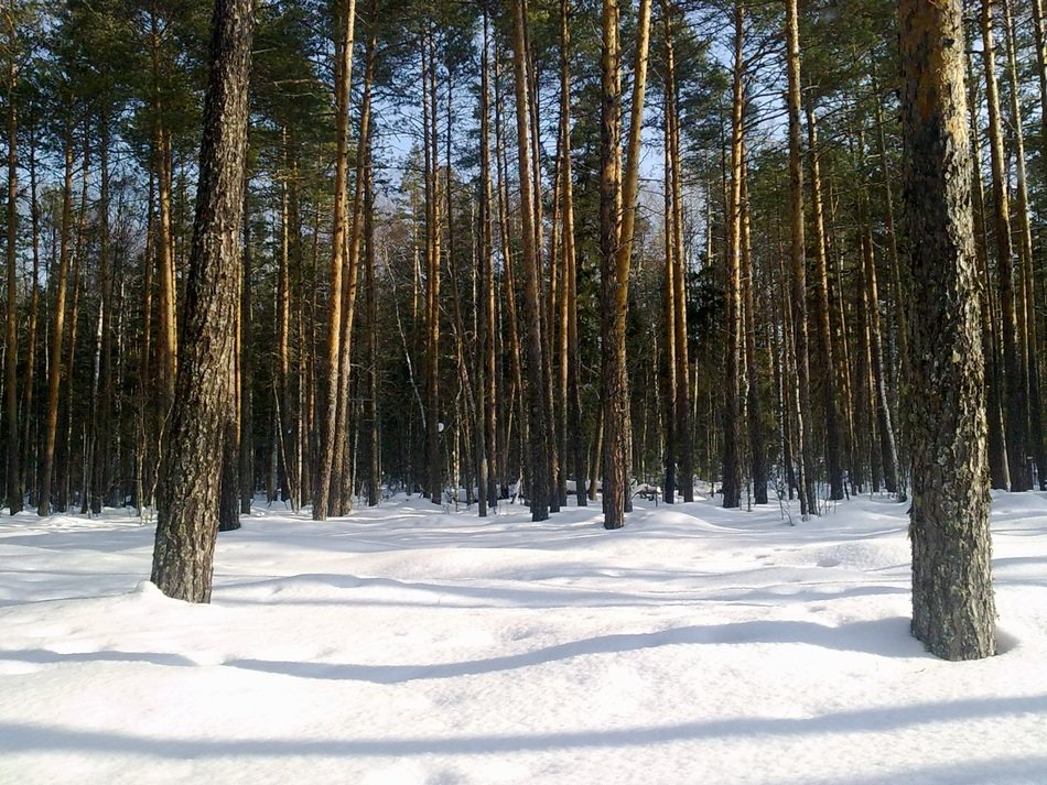 snow cover in a pine forest
