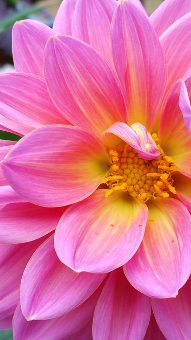 pink dahlia with yellow core closeup