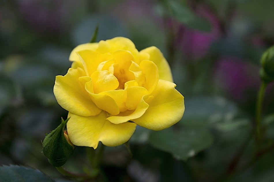 Yellow Rose Petal