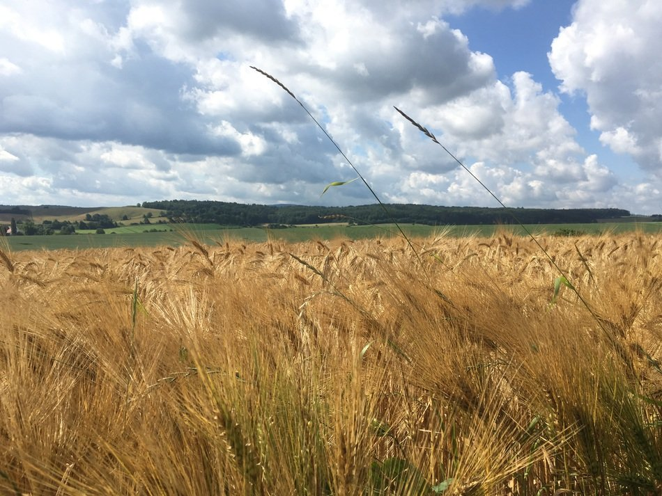 panorama of golden cereal field