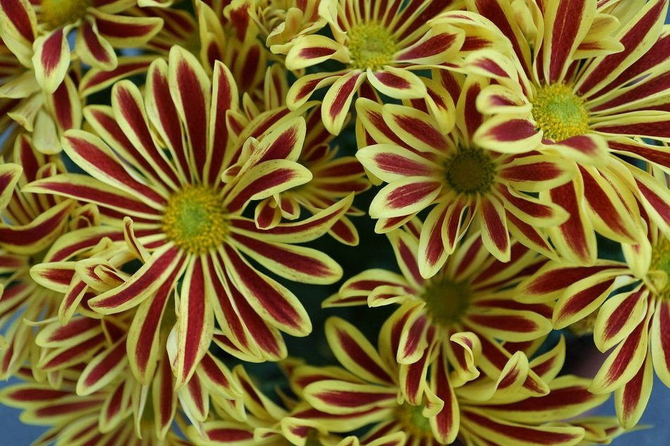 bouquet of striped chrysanthemums