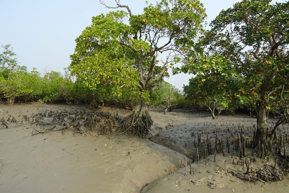 aerial roots of large trees in mangroves
