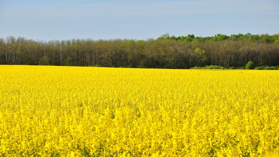 Rape Spring Canola Field Yellow view