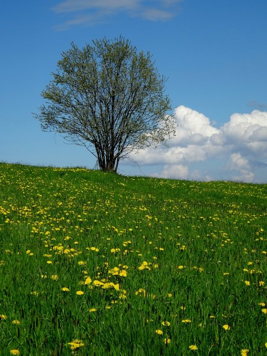 tree on the green meadow nature landscape, poland