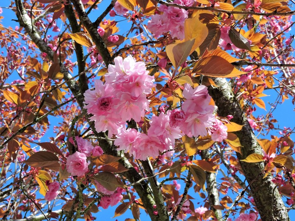 wonderful blooming of japanese cherry