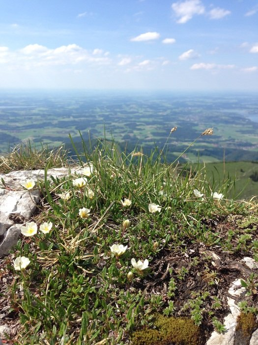 white flowers on top of a mountain in Austria