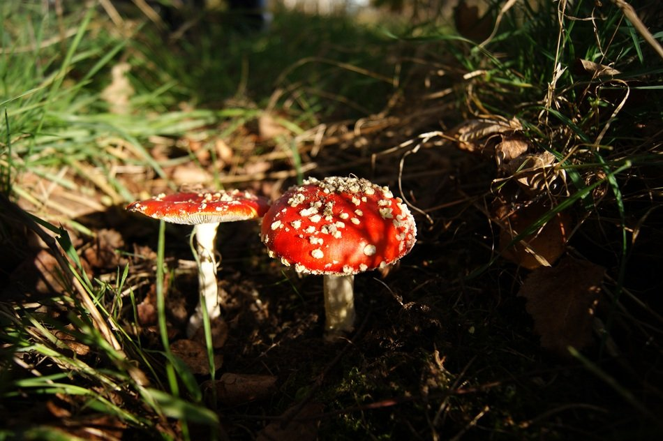 two fly agaric Mushrooms on Forest floor, Amanita