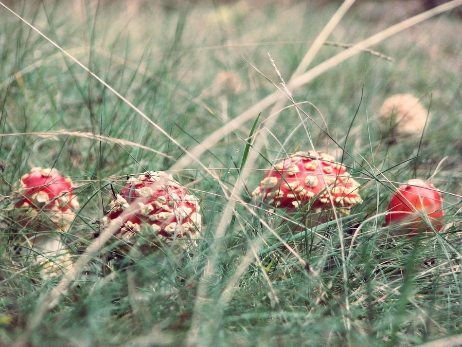 red Amanita Mushrooms in Grass