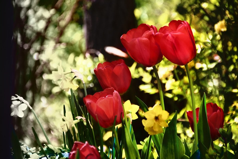 red tulips and yellow daffodils in the flowerbed