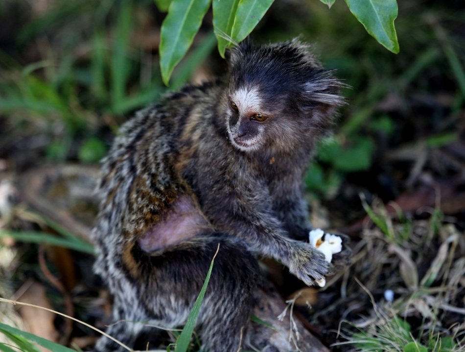 Marmoset Tufts