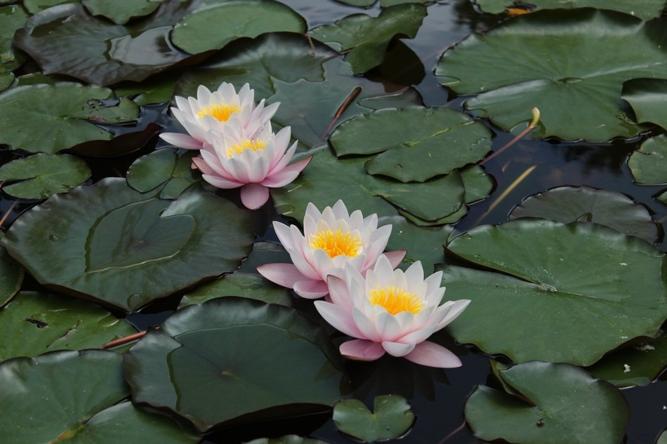 striking Pond Water-Lily
