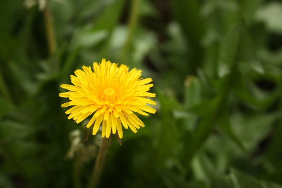 yellow summer dandelion in green grass