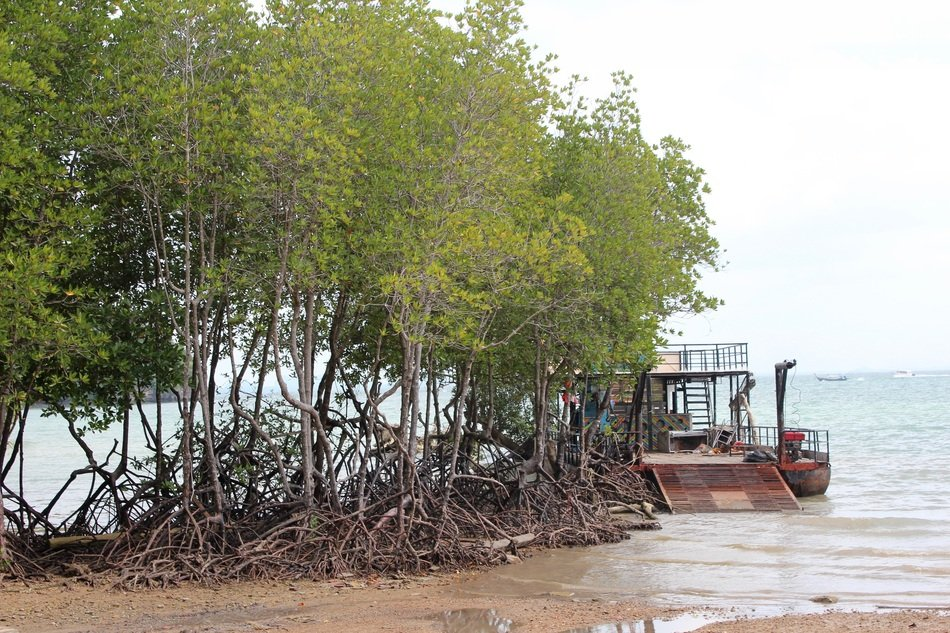 mangroves with open roots