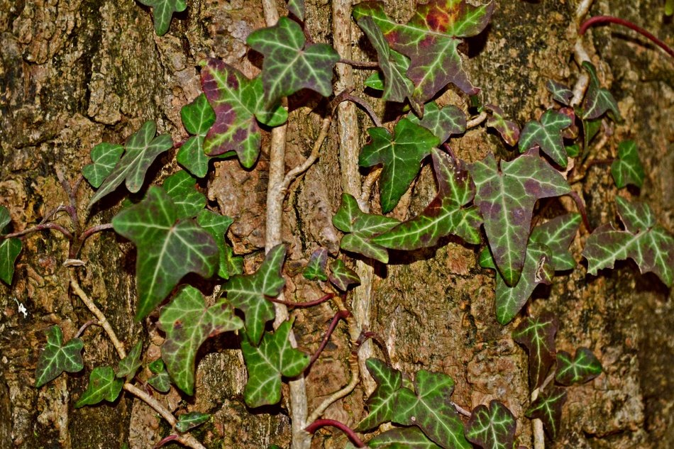 Ivy Creeper on a brown tree trunk close up
