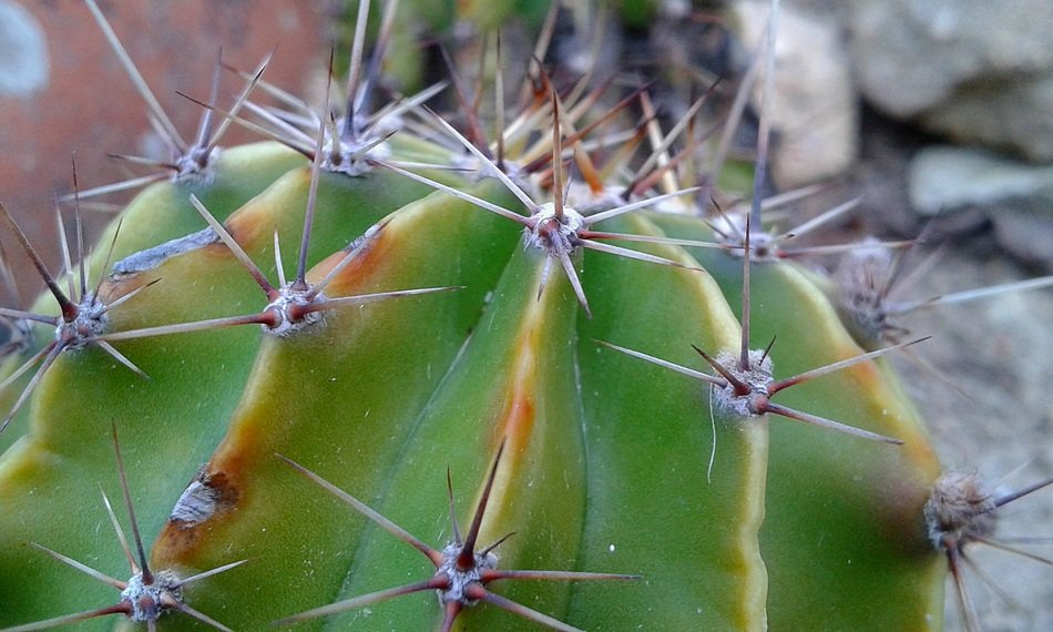 cactus spines close up