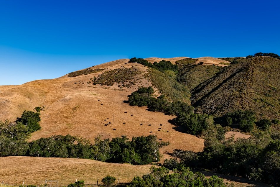 distant view of cattle in the hills of california