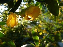 yellow flowers on a tropical tree