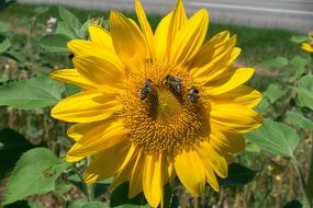 three bees on a bright yellow sunflower close-up