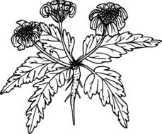 black and white graphic image of a field plant with three flowers