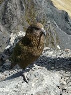 Picture of wild Kea Parrot