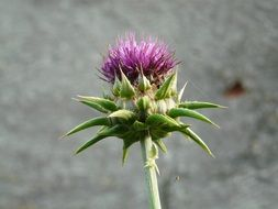 Contrast of the thistle