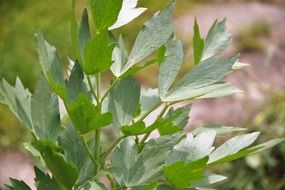 Lovage or Levisticum