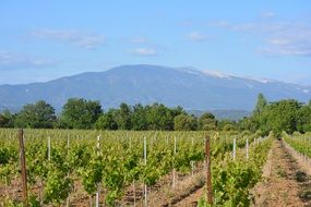 Vineyard in view of mont ventoux at summer, france
