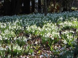 glade of snow-white snowdrops