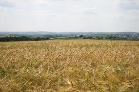 panorama of a yellow rural meadow in fine weather