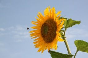 insect over a sunflower on a sunny day
