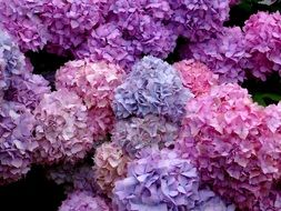 lush colorful inflorescences of hydrangea