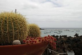 potted prickly cactus
