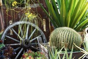 cactus Plants and wheel decoration