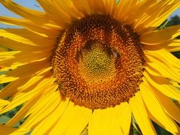 pollination of sunflower