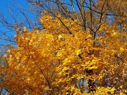 yellow leaves on a tree against a blue sky