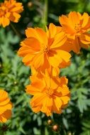 orange flower ornamental plant
