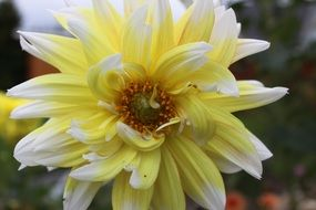 white-yellow dahlia close-up