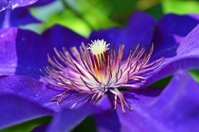 bright purple flower with stamens closeup