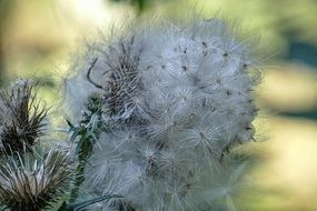 picturesque and pretty Seeds Thistle