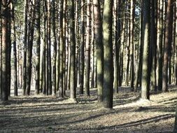 pine forest in the play of light and shadow