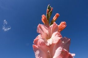 light pink gladiolus against a bright blue sky close-up