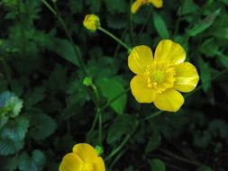 yellow buttercups among green leaves