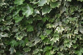 ivy leas in spring