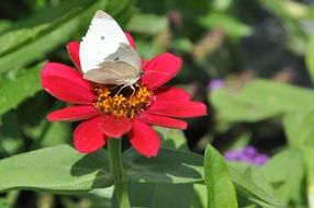 picturesque and pretty Zinnia Butterfly
