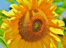 bright sunflower with pollen closeup