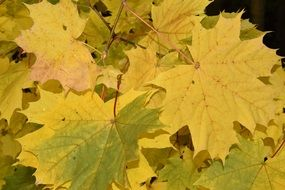 Picture of the green and yellow maple leaves