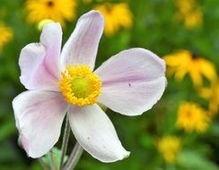 pink chinese anemone flower