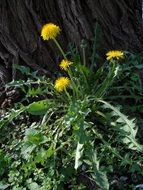 small bush of yellow dandelions under a tree